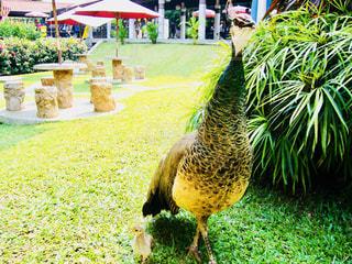 風景,鳥,芝生,親子,綺麗,葉,景色,草,椅子,テーブル,旅行,旅,シンガポール,可愛い,母,孔雀,クジャク,お母さん,鳥類,ヒナ,母子,フォトジェニック,くじゃく,雛鳥,インスタ映え,母鳥