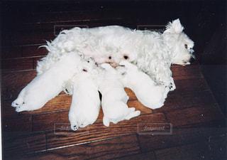 犬,屋内,白,親子,床,赤ちゃん,可愛い,子犬,仔犬,母,ママ,お母さん,子育て,ウエストハイランドホワイトテリア,親,母乳,育児,乳,フォトジェニック,授乳,インスタ映え,ウエスティ