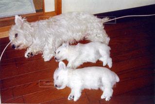 母犬と子犬の昼寝 - No.1192033
