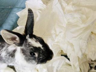 動物,うさぎ,白,室内,兎,可愛い,ティッシュ,反省,トイレットペーパー,生き物,マット,いたずら,ウサギ,ティッシュペーパー,お部屋でのんびり,お部屋でまったり,悪びれない