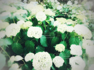 風景,公園,花,ニューヨーク,緑,白,アメリカ,景色,鮮やか,紫陽花,新緑,装飾,梅雨,マンハッタン,草木,フォトジェニック,インスタ映え