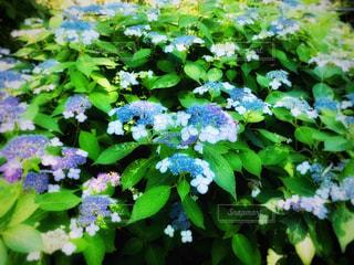 風景,公園,花,ニューヨーク,緑,紫,アメリカ,景色,鮮やか,紫陽花,新緑,装飾,梅雨,マンハッタン,青紫,草木,フォトジェニック,インスタ映え,アッパーウエスト
