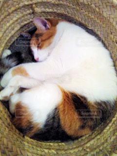 カゴの中で眠っている猫の写真・画像素材[1271442]