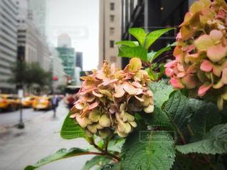 マンハッタンに咲く雨上がりの紫陽花の写真・画像素材[1373321]
