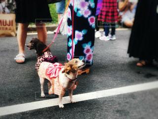 浴衣を着た犬の写真・画像素材[1416661]