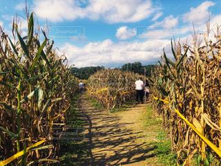 風景,空,秋,ニューヨーク,木,屋外,海外,雲,アメリカ,景色,草,道,人,コーン,トウモロコシ,通り,秋空,草木,日中,分かれ道,とうもろこし畑,とうもろこし,フォトジェニック,迷路,インスタ映え,コーンメイズ,コーン畑,ポークアッグ