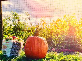 食べ物,自然,風景,空,秋,夕日,ニューヨーク,屋外,海外,雲,夕暮れ,アメリカ,景色,日差し,草,果物,野菜,ハロウィン,りんご,林檎,網,新鮮,畑,果樹園,収穫,秋空,日暮れ,南瓜,カボチャ,秋の味覚,フォトジェニック,食欲の秋,インスタ映え,りんご狩り,ポークアッグ