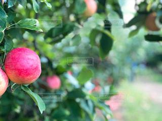 食べ物,ニューヨーク,木,屋外,海外,緑,赤,葉,アメリカ,フルーツ,果物,樹木,外国,りんご,林檎,果実,NY,新鮮,Apple,果樹園,食材,フレッシュ,リンゴ,りんご狩り