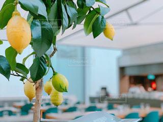 食べ物,屋内,木,緑,白,黄色,窓,テーブル,フルーツ,果物,飲食店,鉢植え,イギリス,ロンドン,レモン,ブルー,果実,レストラン,イエロー,グリーン,新鮮,大英博物館,食材,フレッシュ,英国,イングランド,イス,檸檬,レモンの木