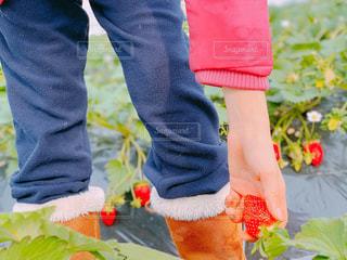 苺を積む女の子の写真・画像素材[1798360]