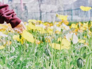 女性,子ども,10代,自然,風景,花,春,お花畑,花畑,屋外,東京,植物,白,綺麗,散歩,黄色,手,葉,鮮やか,女の子,少女,オレンジ,優しい,つぼみ,人物,人,茎,袖,可愛い,ポピー,暖かい,お台場,イエロー,色,黄,yellow,ガーデン,フォトジェニック,江東区,シンボルプロムナード公園,触れる,10才,エンジ