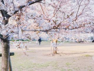 公園の桜の写真・画像素材[1869806]