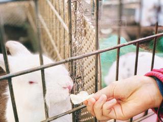 ウサギにご飯をあげる女の子の写真・画像素材[1870716]