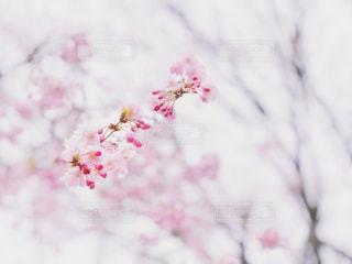 桜の花の写真・画像素材[1886154]