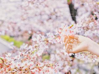 桜に手を差し伸べるの写真・画像素材[2018734]