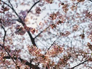 仄かに日差しを浴びる桜の写真・画像素材[2062617]