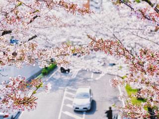 桜並木の中の道の写真・画像素材[2062640]