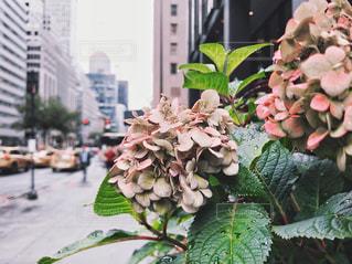 雨の日のマンハッタンの紫陽花の写真・画像素材[2213955]