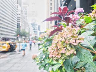 小雨の中のマンハッタンの紫陽花の写真・画像素材[2213960]