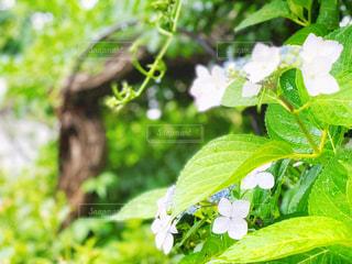 紫陽花と梅雨の写真・画像素材[2213968]