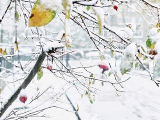 赤い実と雪景色の写真・画像素材[2848812]
