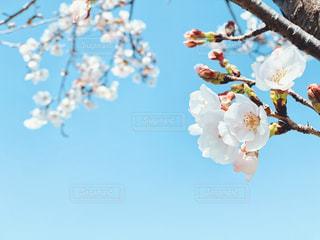 風景,空,公園,花,春,桜,木,屋外,晴れ,青空,晴天,青い空,花見,景色,花びら,樹木,お花見,イベント,たくさん,快晴,草木,桜の花,さくら,フォトジェニック,ブルーム,ブロッサム,ぽかぽか陽気