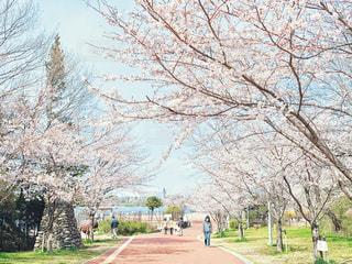 風景,空,公園,花,桜,木,屋外,青空,花見,景色,草,樹木,お花見,イベント,通り,草木,フォトジェニック