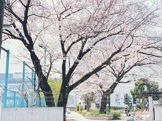 風景,公園,花,春,木,屋外,花見,景色,樹木,お花見,イベント,広場,歩道,草木,桜の花,さくら,フォトジェニック,ブロッサム