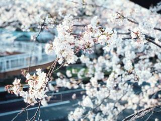 通り沿いの桜 2の写真・画像素材[4325647]