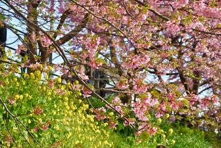 花,桜,黄色,菜の花,イエロー,河津桜,静岡県,河津,桜とコラボ