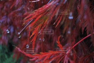 自然,紅葉,雨,森,水,水滴,もみじ,雨の日