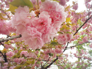 花,春,ピンク,樹木,ハート