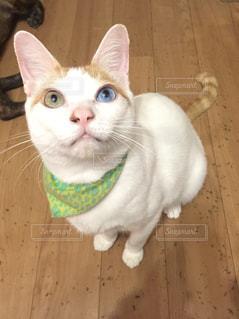 襟付きのシャツを着て猫の写真・画像素材[1139676]