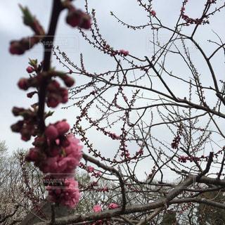 木の枝にピンク色の花のグループの写真・画像素材[1147965]