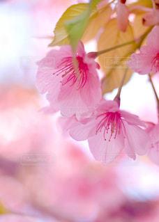 桜の写真・画像素材[1142763]