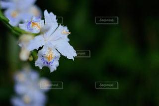 シャガの花の写真・画像素材[1156466]