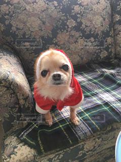 ソファの上に座っている犬の写真・画像素材[1185997]