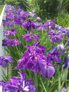 近くに紫の花のアップの写真・画像素材[1142697]