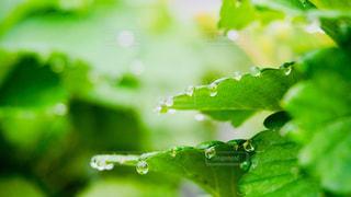 朝露に濡れる緑の写真・画像素材[1158021]