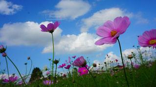 風景,空,花,ピンク,コスモス,日中