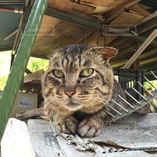 猫,動物,野良猫,ネコ,ボス猫