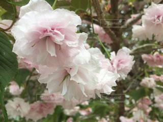 花,春,桜,白,旅行,釧路,レジャー・趣味,みんなで撮影