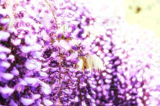 藤の花の写真・画像素材[1145200]