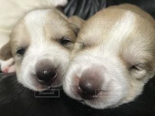 カメラを見て茶色と白犬の写真・画像素材[1184272]
