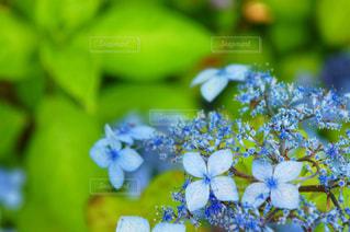 花,緑,植物,青,葉,紫陽花,アジサイ