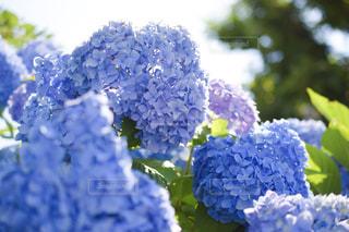 自然,空,花,きれい,紫陽花,梅雨,青い,青紫