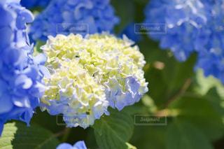 自然,花,白,きれい,白い,紫陽花,梅雨,花言葉,寛容