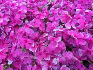 花,雨,綺麗,水滴,シバザクラ,雨の日
