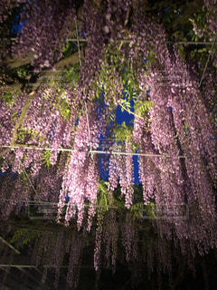 神社の藤の写真・画像素材[1147357]