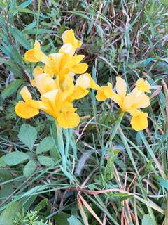 家の庭に咲いた花しょうぶの写真・画像素材[1158768]